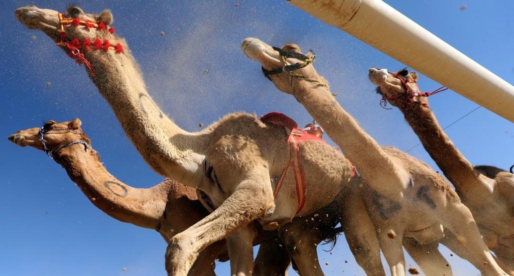 Camel Racing in the Desert
